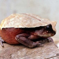 African giant toad (Amietophrynus superciliaris)
